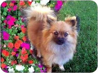 Pomeranian Dog for adoption in Los Angeles, California - AUTUMN