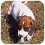 Photo 2 - Foxhound/Bloodhound Mix Puppy for adoption in Buffalo, New York - Duke