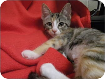 Domestic Shorthair Kitten for adoption in Irvine, California - Aurora