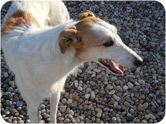 Borzoi Mix Dog for adoption in Meridian, Idaho - PomPom
