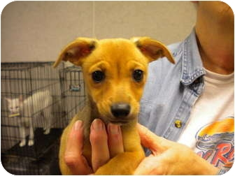 Terrier (Unknown Type, Small) Mix Puppy for adoption in New Roads, Louisiana - Girl Puppy #2