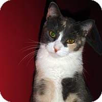 """Domestic Shorthair Cat for adoption in Round Rock, Texas - Princess """"P"""""""