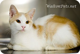 Domestic Shorthair Cat for adoption in Monroe, Georgia - TRIP