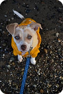 Jack Russell Terrier Mix Puppy for adoption in Gig Harbor, Washington - Peanut