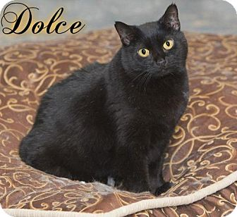 Domestic Shorthair Cat for adoption in River Edge, New Jersey - Dolce