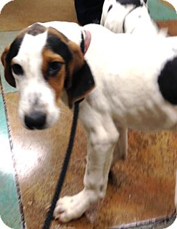 Treeing Walker Coonhound/Coonhound Mix Puppy for adoption in Snohomish, Washington - Amazing Baby Hound- Avery!
