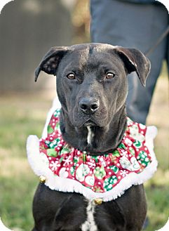 Labrador Retriever/Pit Bull Terrier Mix Dog for adoption in Portsmouth, Rhode Island - Tressie-Local!