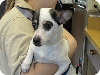 Jack Russell Terrier Mix Dog for adoption in Corona, California - Michaela, a real angel!