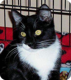 Domestic Shorthair Cat for adoption in Glenwood, Minnesota - Coco