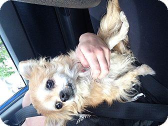 Pomeranian Mix Dog for adoption in Los Angeles, California - Pebbles