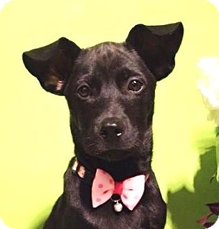 Labrador Retriever Mix Puppy for adoption in Castro Valley, California - Betty