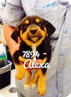 Shepherd (Unknown Type)/Labrador Retriever Mix Dog for adoption in Dillon, South Carolina - Alexa
