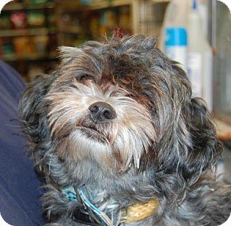 Shih Tzu Mix Dog for adoption in Brooklyn, New York - Alice