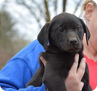 Labrador Retriever Mix Puppy for adoption in Groton, Massachusetts - Bettie