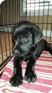 Labrador Retriever Mix Puppy for adoption in Mantua, New Jersey - Peaches