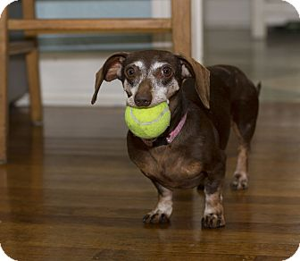 Dachshund Dog for adoption in Baton Rouge, Louisiana - Adrianne