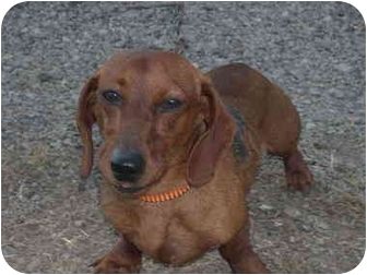 Dachshund Dog for adoption in Drumright, Oklahoma - Doxy