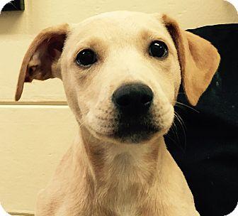 Labrador Retriever/Weimaraner Mix Puppy for adoption in Orlando, Florida - Angel#7F
