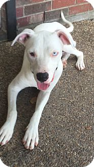 Dogo Argentino/Great Dane Mix Puppy for adoption in South Park, Pennsylvania - Toby
