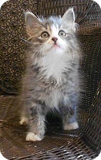 Domestic Mediumhair Kitten for adoption in Huntsville, Alabama - Diesel