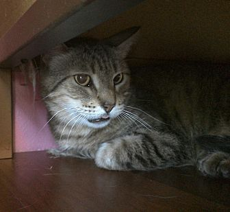 Domestic Shorthair Cat for adoption in West Hills, California - Bob