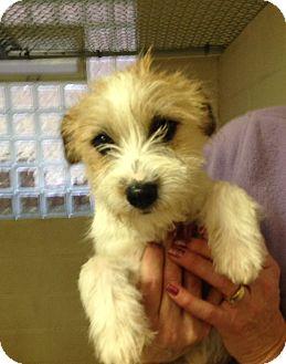 Sheltie, Shetland Sheepdog/Terrier (Unknown Type, Medium) Mix Puppy for adoption in Greensburg, Pennsylvania - Letty (Sheltie Mix)