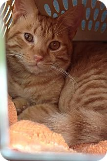 Domestic Shorthair Kitten for adoption in Ludowici, Georgia - Squirt
