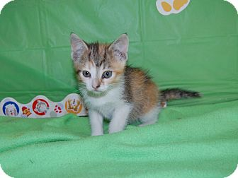 Domestic Shorthair Kitten for adoption in North Judson, Indiana - Mandy