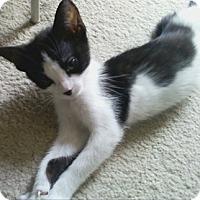 Adopt A Pet :: Bract - North Highlands, CA