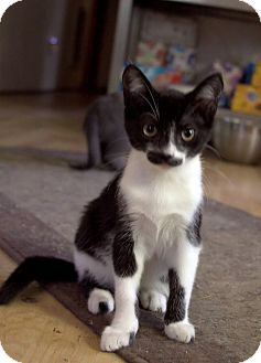 Domestic Shorthair Kitten for adoption in Monroe, North Carolina - Blackie