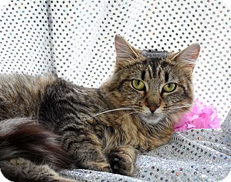Maine Coon Cat for adoption in Bristol, Connecticut - Missy
