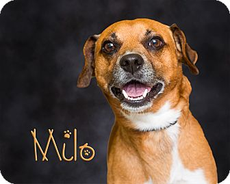 Jack Russell Terrier Mix Dog for adoption in Somerset, Pennsylvania - Milo