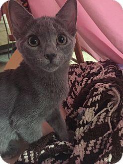 Domestic Shorthair Kitten for adoption in Smithfield, North Carolina - Scarlotte