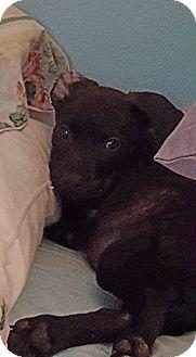 Plott Hound/Boxer Mix Puppy for adoption in Greenville, North Carolina - Josie