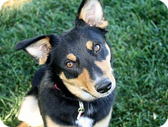 Australian Cattle Dog/Border Collie Mix Dog for adoption in Los Angeles, California - Tabatha - 30 lbs!