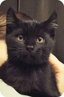 Domestic Shorthair Kitten for adoption in Grants Pass, Oregon - Zach