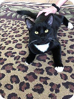 Domestic Shorthair Kitten for adoption in San Jose, California - Jinx