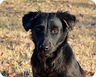 Flat-Coated Retriever/Border Collie Mix Puppy for adoption in Westport, Connecticut - Molly