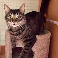 Domestic Mediumhair Cat for adoption in Napa, California - Mika