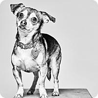 Adopt A Pet :: Diesel - Van Nuys, CA
