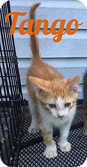 Domestic Shorthair Kitten for adoption in Bentonville, Arkansas - Tango