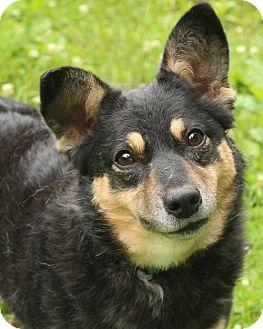 Australian Kelpie Mix Dog for adoption in Media, Pennsylvania - Ivy (foster)