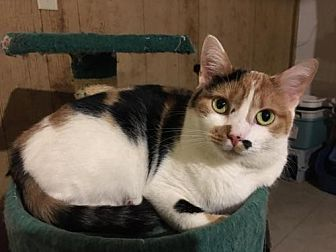 Calico Cat for adoption in Spring Grove, Pennsylvania - Glenys (adult female)