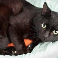 Adopt A Pet :: Nelson - Gainesville, FL