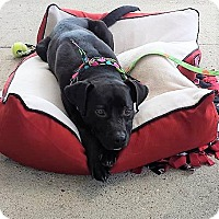 Adopt A Pet :: Frankie - Schaumburg, IL