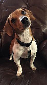 Dachshund Dog for adoption in Pearland, Texas - Dasher a/k/a Dash