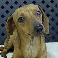 Adopt A Pet :: Precious - Fort Davis, TX