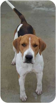 Foxhound Mix Dog for adoption in Somerset, Pennsylvania - Laurel