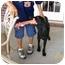 Photo 4 - Labrador Retriever/Weimaraner Mix Puppy for adoption in FOSTER, Rhode Island - Charley