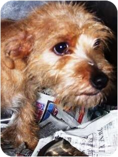 Cairn Terrier Mix Puppy for adoption in Oswego, Illinois - Butterscotch